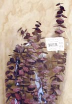 CLICK for large picture of Natural Purple Eucalyptus Stems (new window)